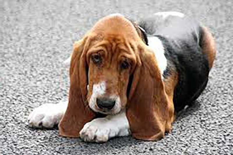 basset hound en adopcion
