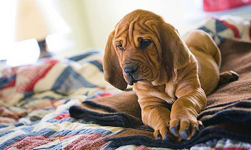 bloodhound cachorro