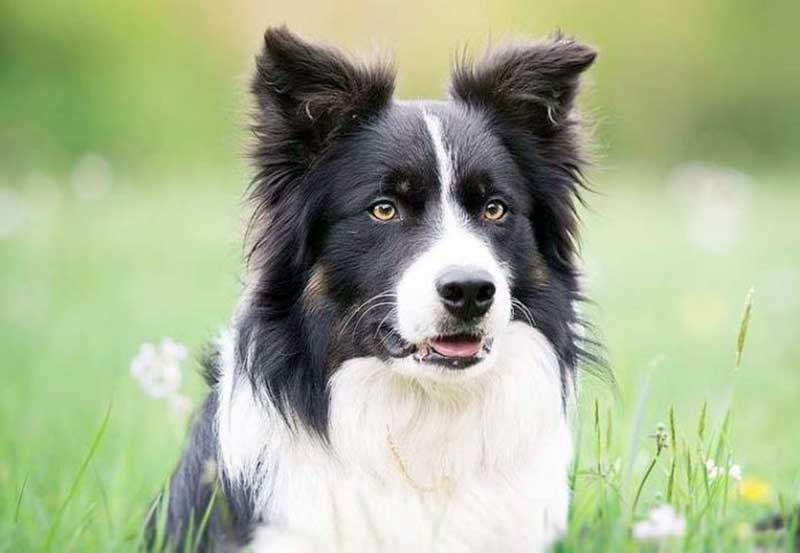 border collie colores