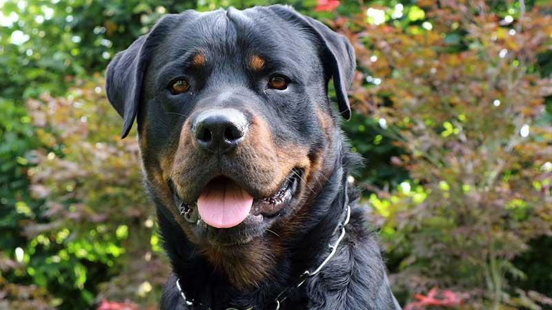 cuantas razas de perros rottweiler existen