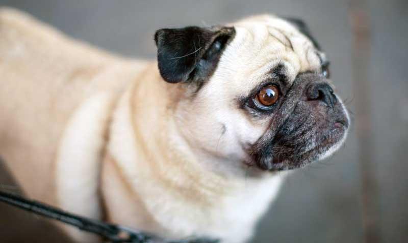 fotos de perros pug