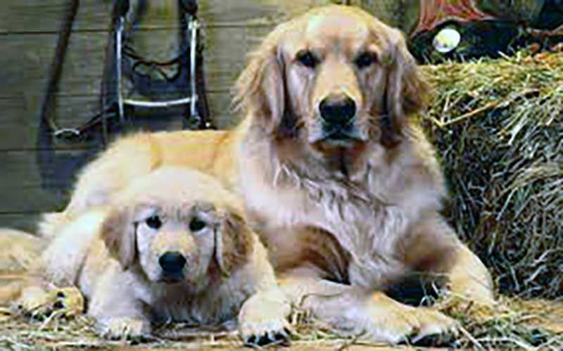 golden retriever pelo corto