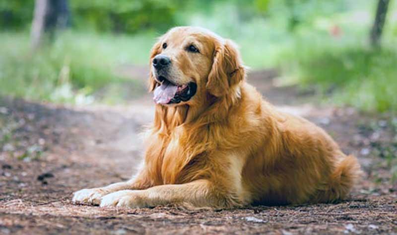 golden retriever razas de perros