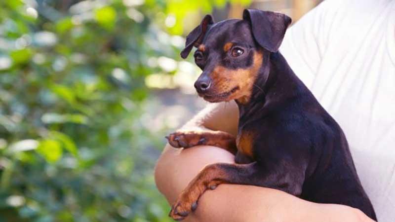 imagenes de perros pinscher