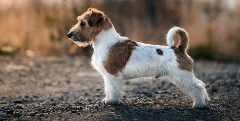 jack russell terrier pelo largo