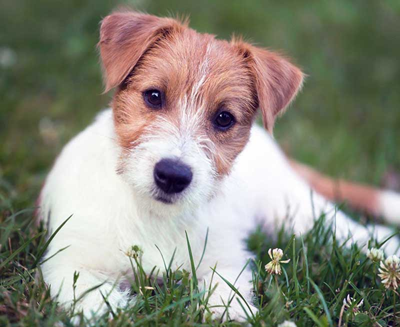 jack russell terrier tipos