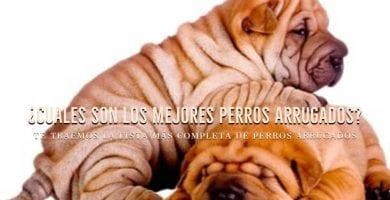 mejores perros arrugados