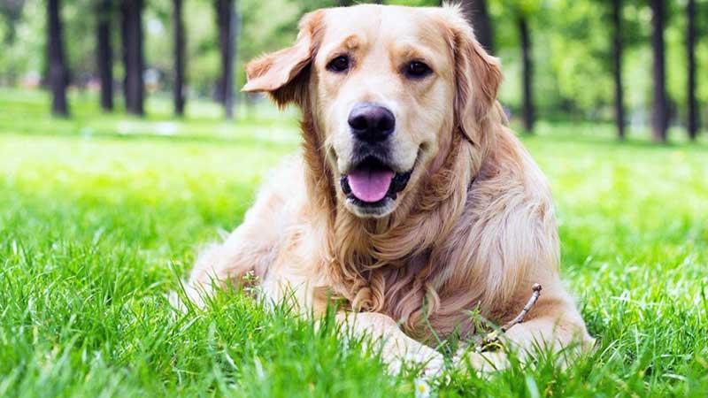 nombre cientifico de perro