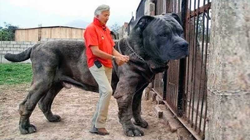 nombre de razas de perros gigantes