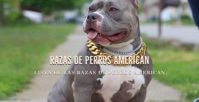 perro american