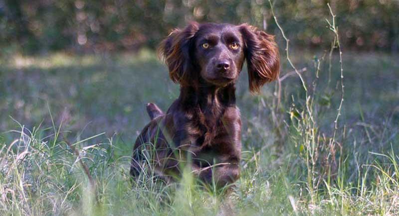 perro de caza Boykin Spaniel