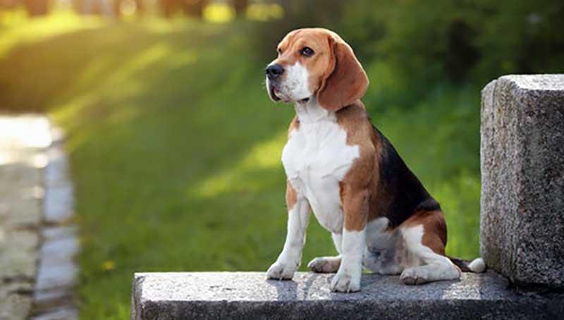 perro de caza beagle
