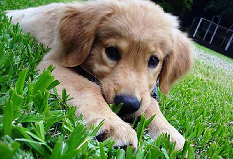 perro golden labrador