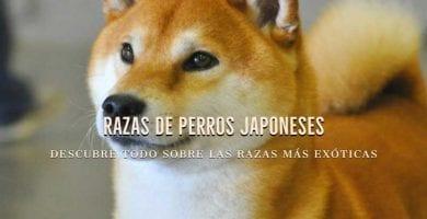 perro japones