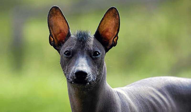 perro mexicano xoloitzcuintle