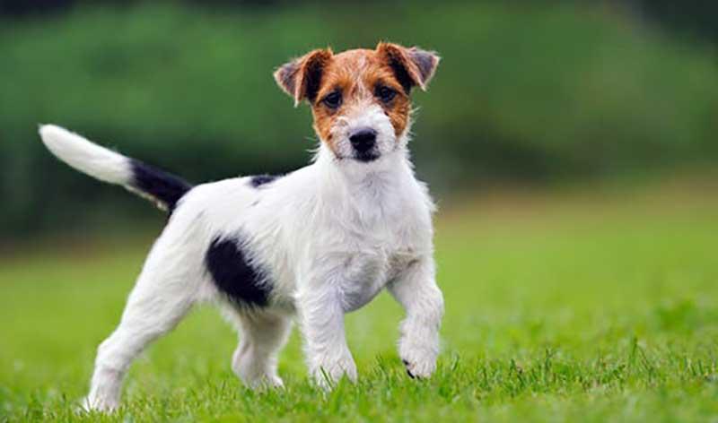 perro terrier