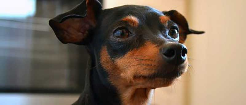 perros de raza pinscher