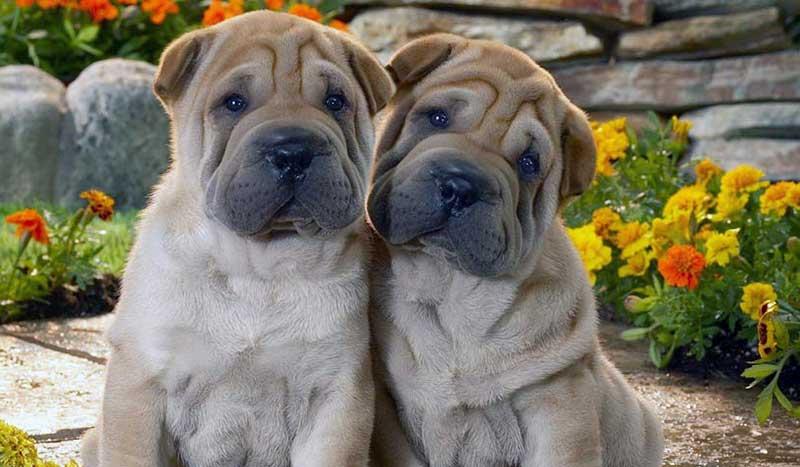 perros de razas chinas