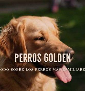 perros golden