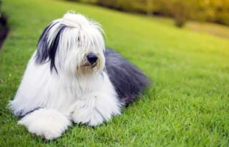 perros grandes y peludos