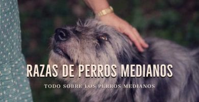perros medianos