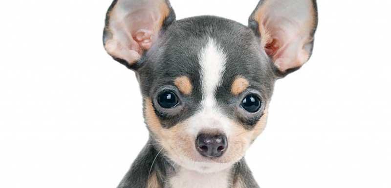perros mini toy