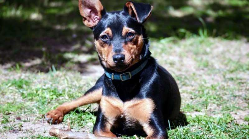 perros pinscher miniatura caracteristicas