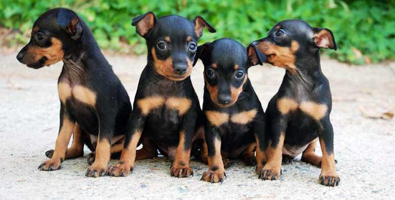 perros pinscher miniatura cuidados