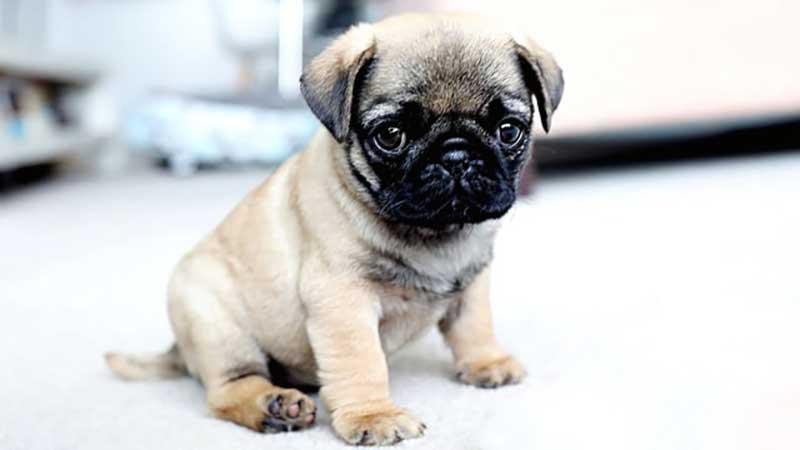 perros pug bebes