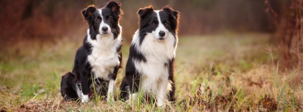 perros raza mediana