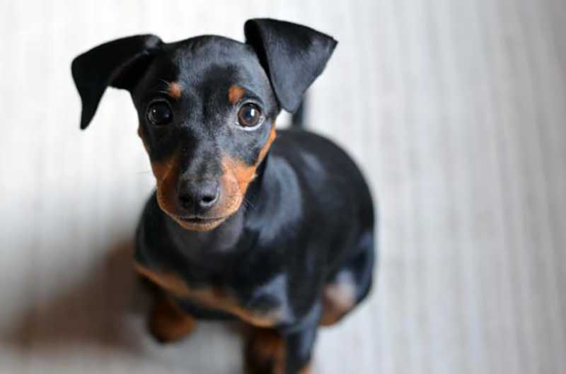 perros raza pinscher