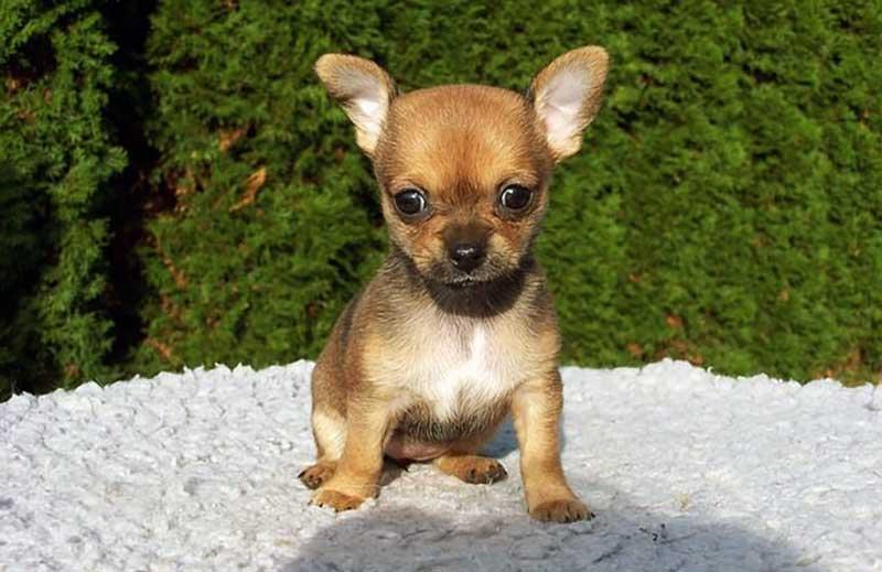 perros toy