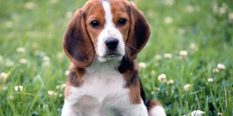 raza perro rastreator