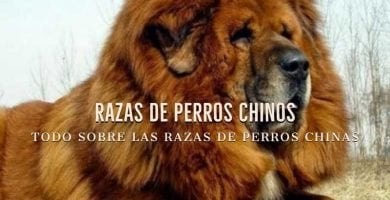 razas chinas de perros