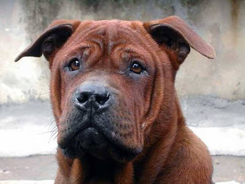 razas chinas de perros pequeños