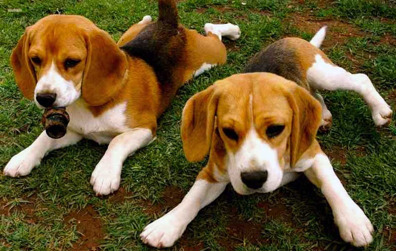 razas de perros beagle