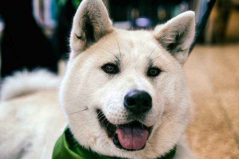 razas de perros chinos y japoneses
