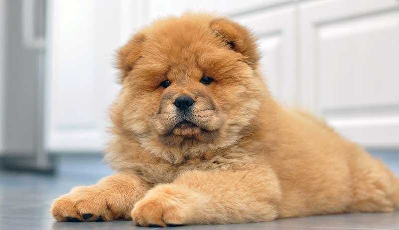 razas de perros en china