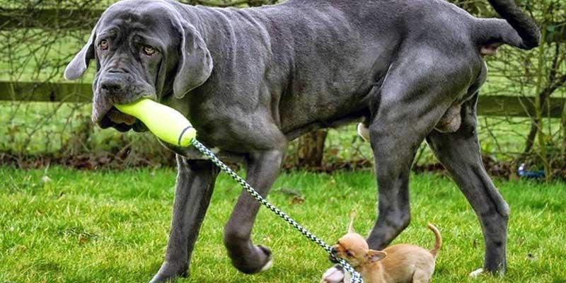 razas de perros gigantes del mundo