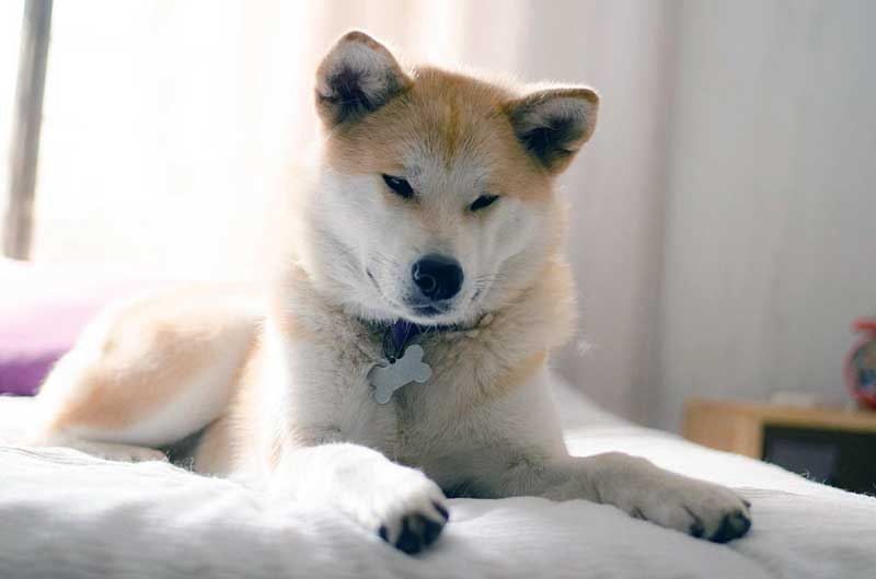 razas de perros grandes de pelo corto