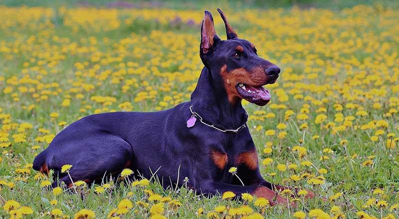 razas de perros grandes peligrosos