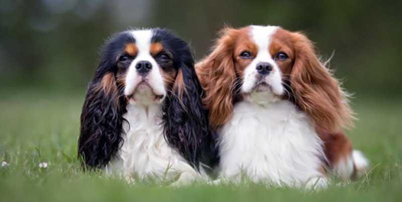 razas de perros ingleses pequeños