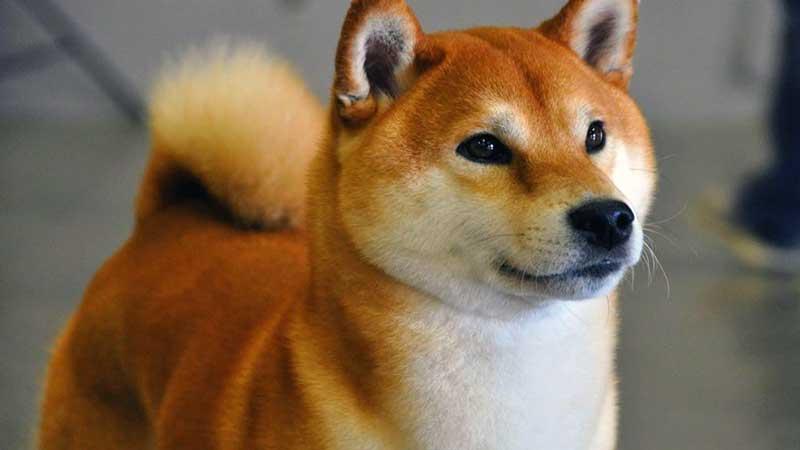 razas de perros japoneses akita