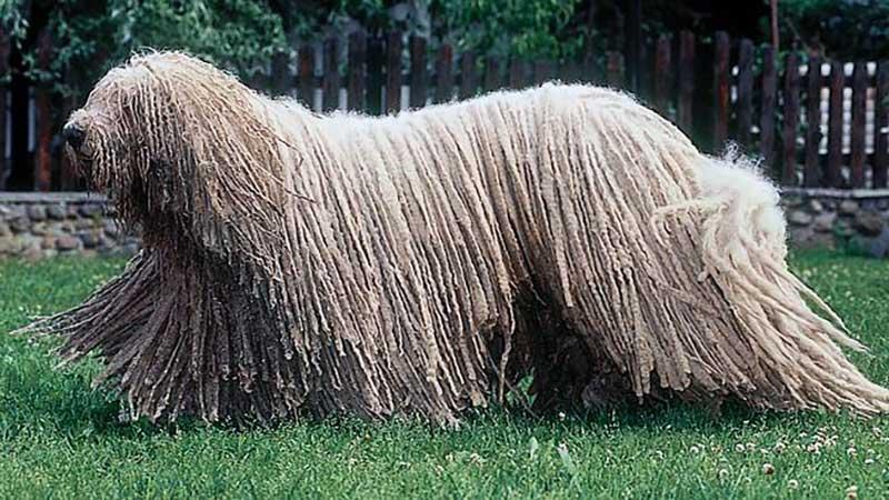 razas de perros largos