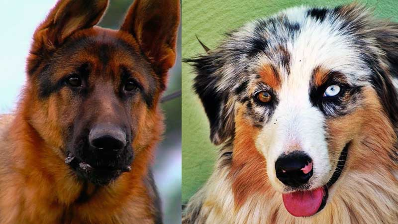 razas de perros mas inteligentes