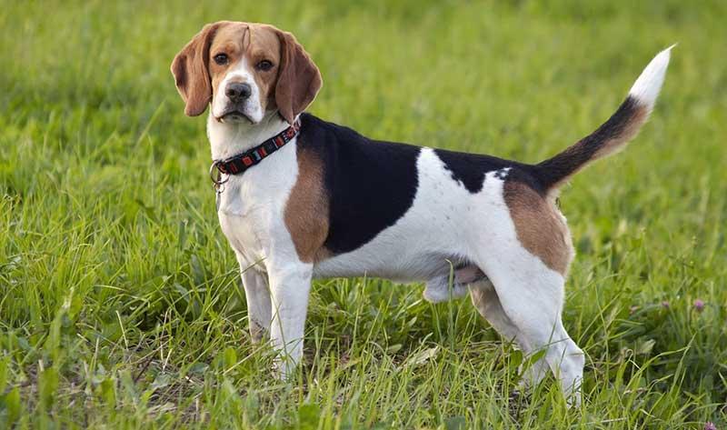 razas de perros medianos tranquilos