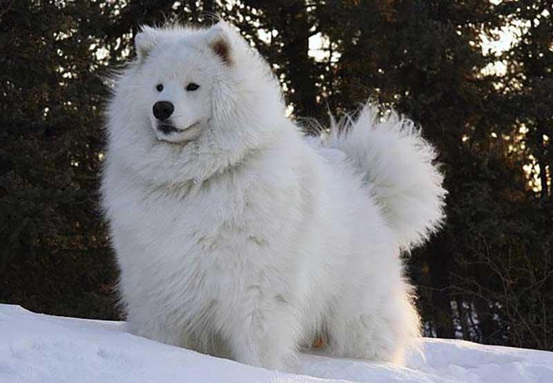 razas de perros muy grandes y peludos