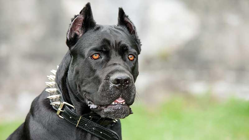 razas de perros peligrosos del mundo