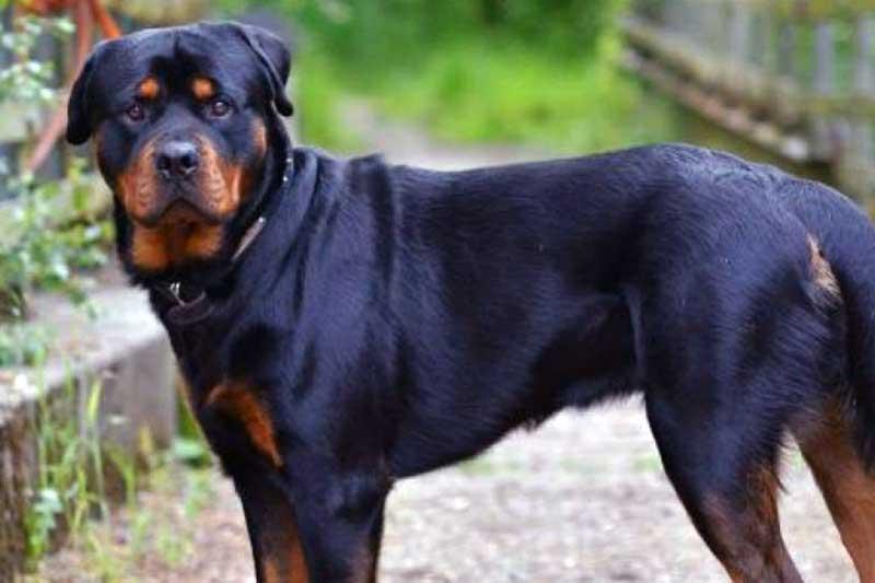 razas de perros peligrosos en españa