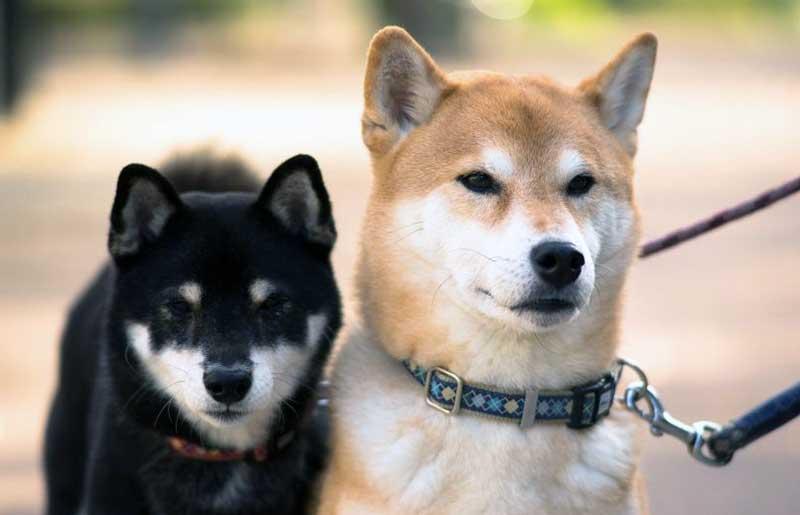 razas de perros pequeños japoneses